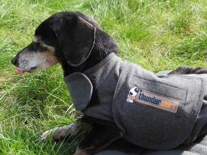 Angus in his Thunder Shirt.  He enjoyed the fall sun.